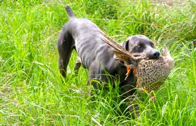 Spirit retrieving a pheasant