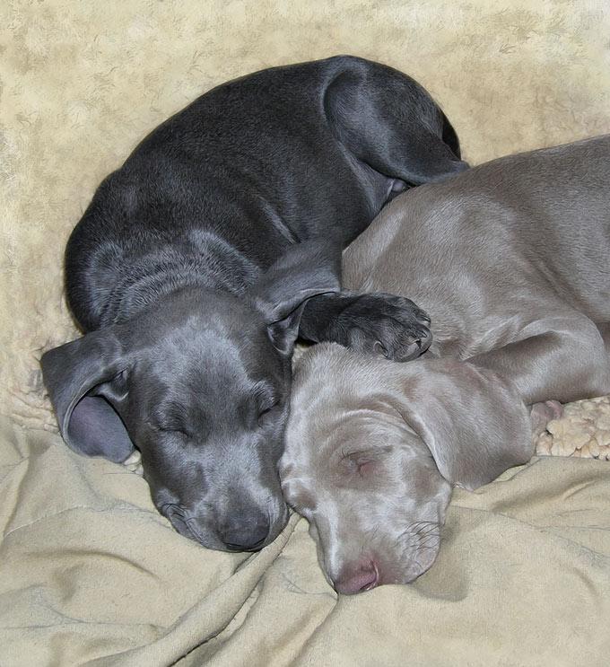 Blue and gray weimaraner pups.