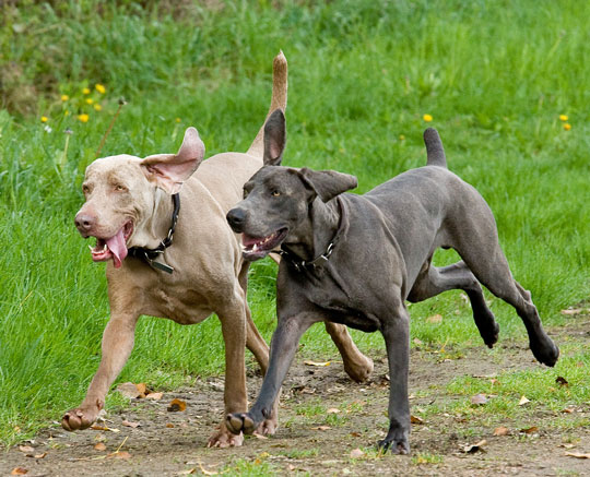 Grey and Blue Weimaraners